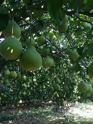 广东省梅州市梅县区沙田柚 1.5斤以上