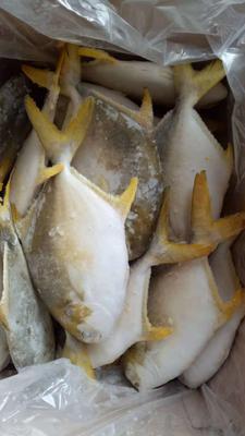 广西壮族自治区北海市海城区金鲳鱼 人工养殖 1-1.5公斤