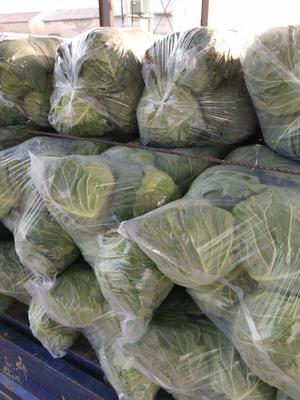 江苏省徐州市沛县卷心包菜 2.0~2.5斤