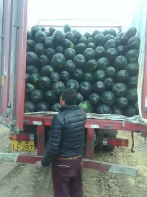 河北省邢台市隆尧县地冬瓜 20~30斤 地冬瓜