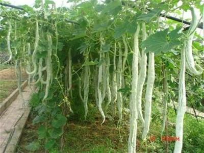 山东省济南市历城区丝瓜种子