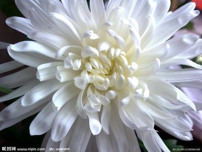 这是一张关于祁菊花的产品图片