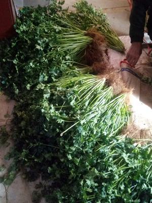 山东省潍坊市坊子区铁杆青香菜 35cm以上