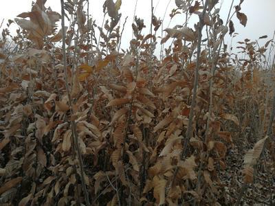 有机板栗 实生苗 1.5~2米