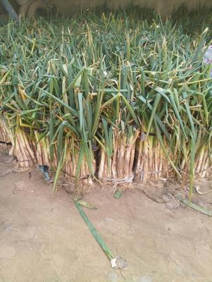 这是一张关于冬葱 混装通货 毛葱的产品图片