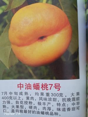 陕西省宝鸡市凤翔县油蟠桃 4两以上 60mm以上