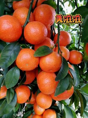 广西壮族自治区桂林市永福县沙糖桔 3.5 - 4cm 1 - 1.5两