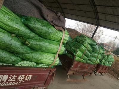 山东省济南市济阳县法国皇后芹菜 45~50cm 大棚种植 0.5斤以下