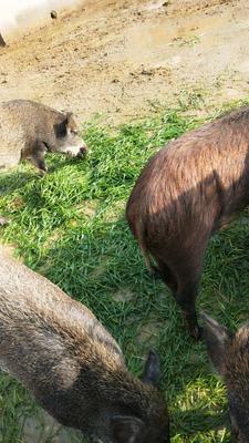 安徽省淮南市潘集区特种野猪 60斤以上 统货
