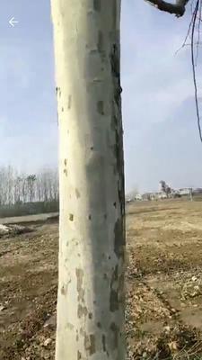 山东省临沂市平邑县速生法桐