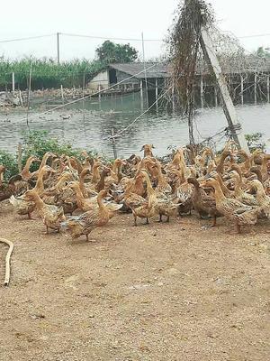 广东省江门市新会区蛋鸭 母 半圈养半散养 3-4斤