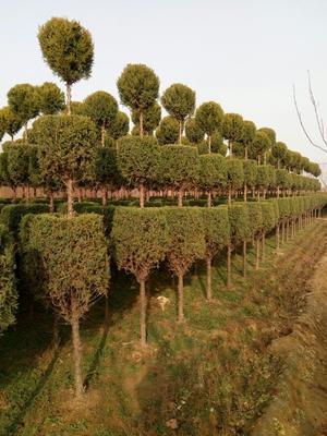 河北省保定市定州市造型柏树