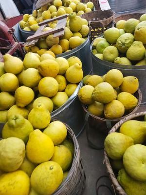 四川省泸州市合江县真龙柚 1斤以上