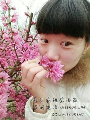 河南省周口市淮阳县菊花碧桃