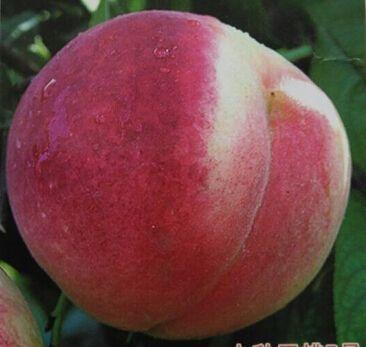 这是一张关于冬桃苗 各种规格各种品种的产品图片