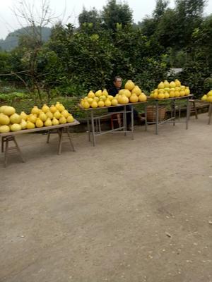 四川省遂宁市安居区沙田柚 1.5斤以上