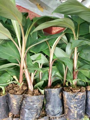 广西壮族自治区钦州市灵山县南美香蕉苗