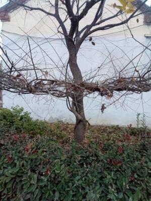 山东省临沂市兰山区丛生朴树