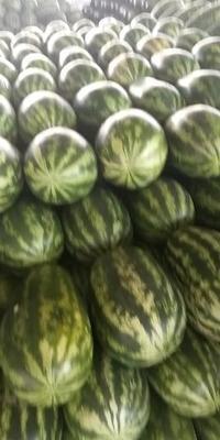 云南省德宏傣族景颇族自治州瑞丽市花长瓜 有籽 1茬 8成熟 15斤打底