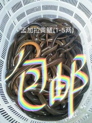 商品黄鳝  野生 孟加拉野生黄鳝(1-5两)