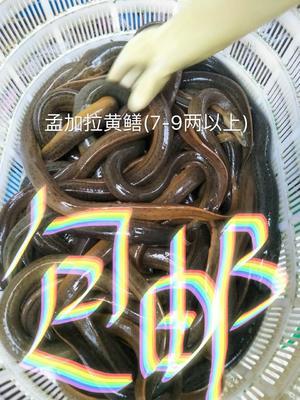 孟加拉野生黄鳝(7两-1斤以上)