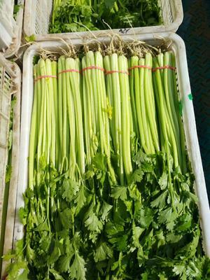 河北省邯郸市永年县香芹 50~55cm 大棚种植 0.5~1.0斤