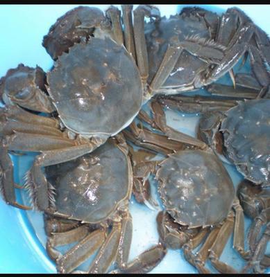 江西省赣州市章贡区大通湖大闸蟹 2.0-2.5两 母蟹
