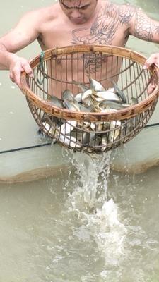云南省西双版纳傣族自治州景洪市池塘鲤鱼 人工养殖 0.1公斤