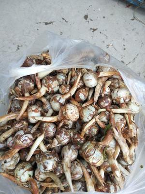 云南省红河哈尼族彝族自治州弥勒市白肉慈菇 混装通货