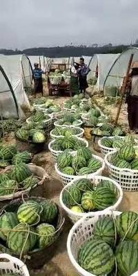 云南省德宏傣族景颇族自治州盈江县缅甸西瓜 有籽 1茬 8成熟 6斤打底