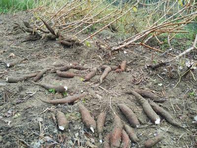 广西壮族自治区玉林市容县面包木薯