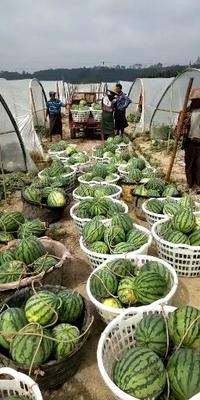 云南省保山市腾冲县台湾85 有籽 1茬 8成熟 10斤打底