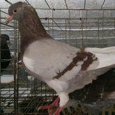 广西壮族自治区河池市都安瑶族自治县肉鸽 500-600克