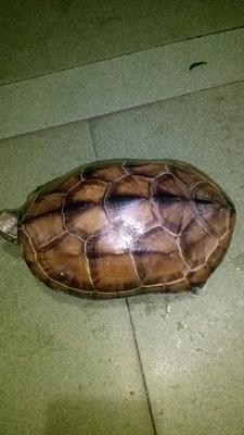 这是一张关于中华草龟的产品图片