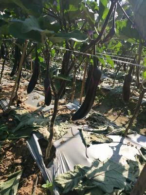 湖北省襄阳市樊城区紫长茄 20~30cm 长茄