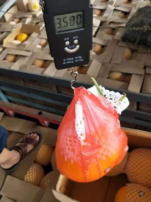 云南省德宏傣族景颇族自治州瑞丽市缅甸西瓜 有籽 1茬 9成熟 5斤打底