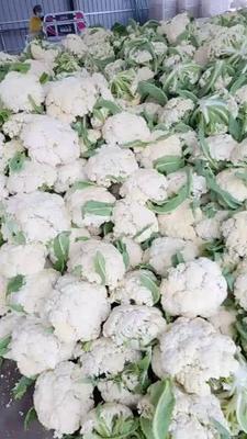 江苏省徐州市铜山区白面青梗松花菜 松散 1~2斤