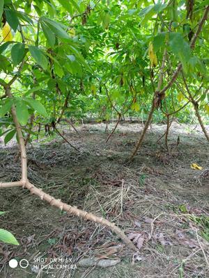 广西壮族自治区玉林市容县面包木薯种茎