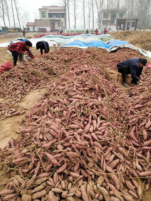商薯19号 红皮 混装通货