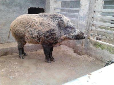 河南省漯河市郾城区特种野猪 120斤以上 公
