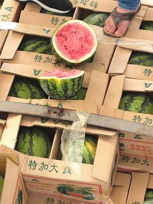 云南省德宏傣族景颇族自治州芒市甜王西瓜 有籽 1茬 9成熟 10斤打底