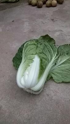 山东省青岛市平度市黄心大白菜 2~3斤 毛菜