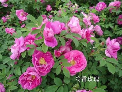 辽宁省铁岭市铁岭县红玫瑰