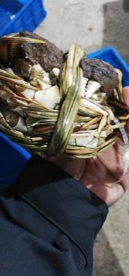 江苏省常州市天宁区长荡湖大闸蟹 3.5-4.0两 公蟹