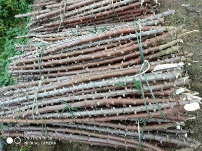 广西壮族自治区玉林市容县高产木薯种茎