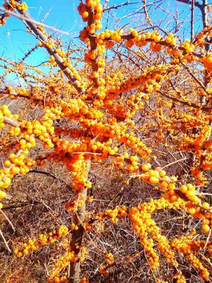 河北省张家口市桥西区沙棘果 橙黄色