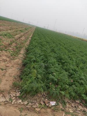 山东省菏泽市牡丹区三红胡萝卜 10~15cm