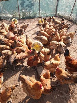 这是一张关于青脚麻鸡  4-5斤 统货 全杂粮喂养,已经下蛋的产品图片