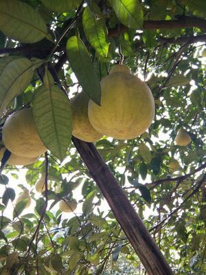 重庆长寿区沙田柚 2斤以上