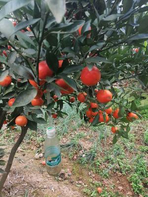 东方红柑桔苗 嫁接苗 0.35~0.5米